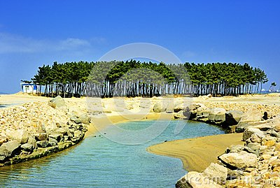 Seashore sosnowy drzewo
