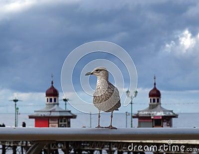 Seaside Gull
