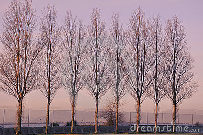 Seaside poplar trees