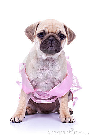 Seated pug puppy dog wearing a pink dress