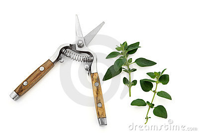 Secateurs and Marjoram Herb