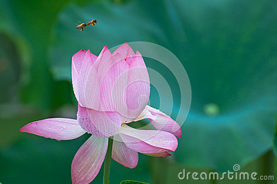 Secret of bee and Lotus