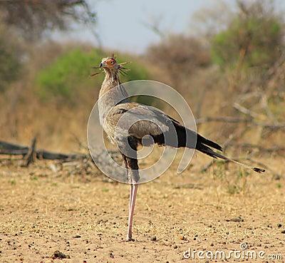 Secretary Bird - African Pride