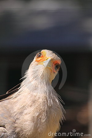 Free Secretary Bird Looking Royalty Free Stock Image - 18925256