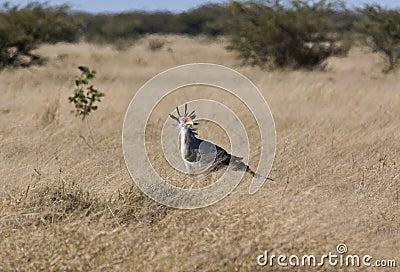 Secretarybird - le Botswana