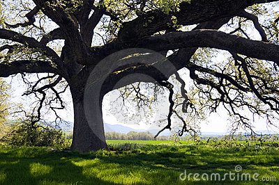 Secular oak tree