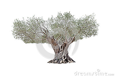 Secular Olive Tree isolated on white background.