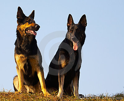 Security dogs