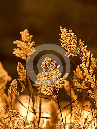 Free Sedge In Sunset Light Royalty Free Stock Photos - 62532708