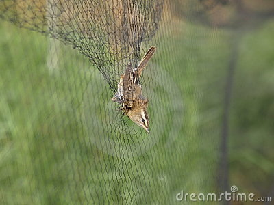 Sedge Warbler caught in net
