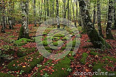 Sedimentary rocks in beech forest