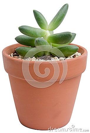 Sedum bonito Rubrotinctum