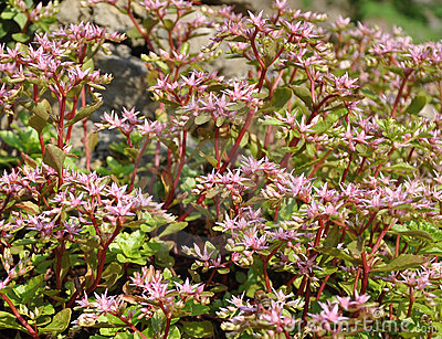Sedum spurium (background)