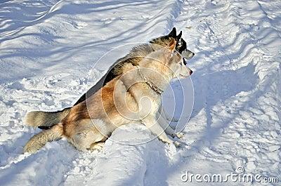 Seduta dei cani del husky siberiano immagini stock - Animali in inverno clipart ...