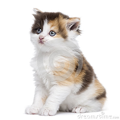 Seduta diritta del gattino dell altopiano, cercando, isolato