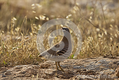 See-see Partridge (Ammoperdix griseogularis)
