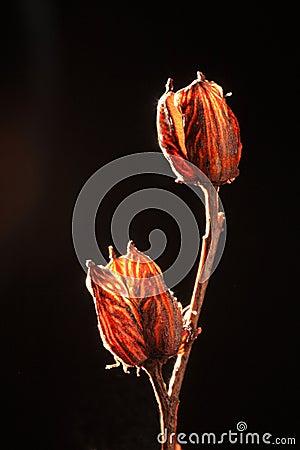 Seed Capsules