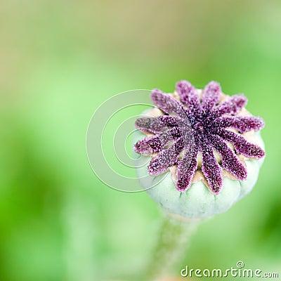 Seed capsules on poppy flower
