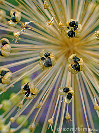 Free Seed Cases Of Allium Royalty Free Stock Photo - 9890265