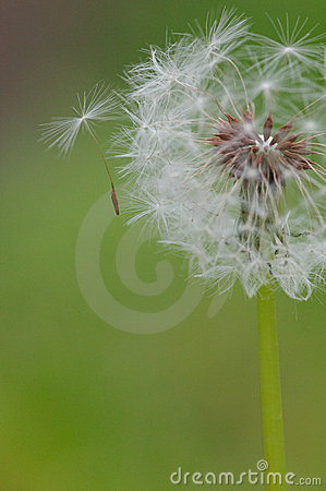Seed Coming off a Dandelion