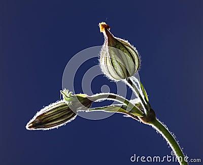 Seed pod of Silene