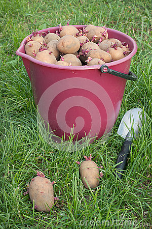 Seed potatoes in a bucket