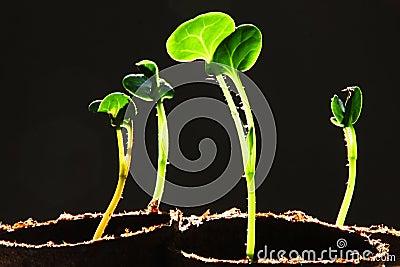 Seedling Against Black Background