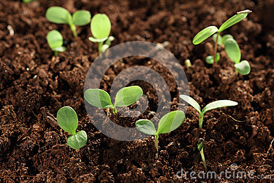 Seedling plants in soil