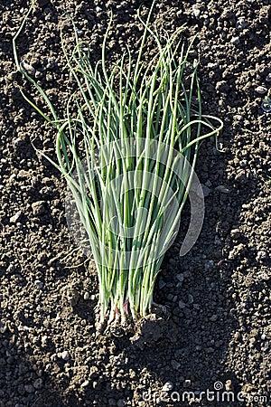 Seedling of water onion