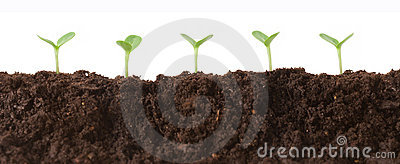 Seedlings in Dirt Profile
