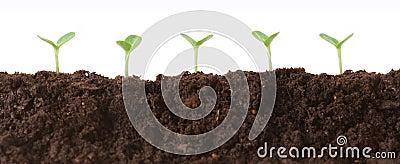 Seedlings in Dirt Profile
