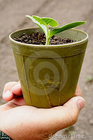 Free Seedlings In Pots Stock Images - 736304