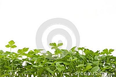 Seedlings over white