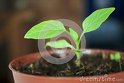 Seedlings peppers
