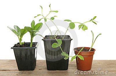 Seedlings in pots