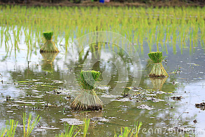 Seedlings of rice in Thailand
