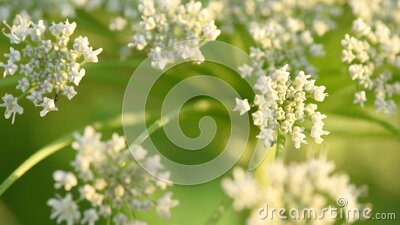 Seeds of dangerous toxic plant Giant Hogweed, close up. End of June stock footage