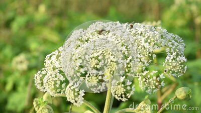 Seeds of dangerous toxic plant Giant Hogweed, end of June. Maturation. Also known as Heracleum or Cow Parsnip stock video