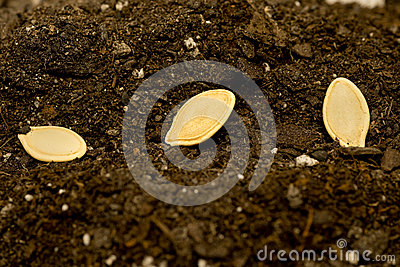 Seeds Laying In Soil Close Up