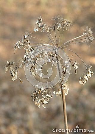 Seedy stalk