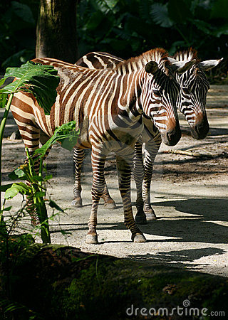 Seeing double? Seeing Clones? - Two zebras!