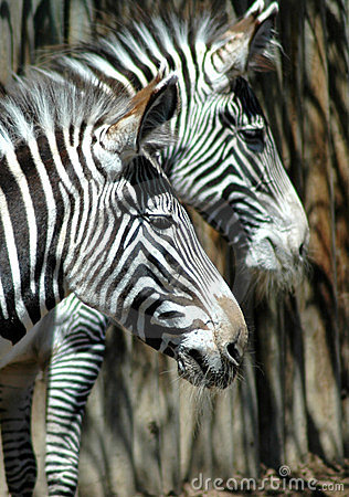 Seeing stripes zebras