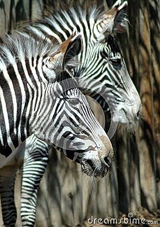 Seeing stripes zebras
