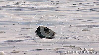 Seeotter, der im eisigen Wasser sich pflegt