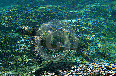 Seeschildkröte Unterwasser