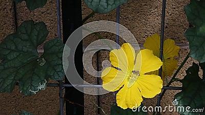 Seguire un'ape di fiori in fiore su una vite di luffa stock footage