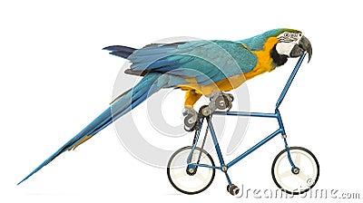 Seitenansicht eines Blau-und-gelben Macaw, Ara ararauna, 30 Jahre alt, blaues Fahrrad fahrend