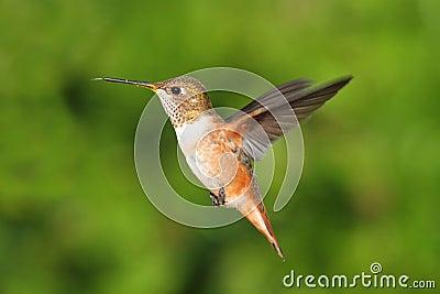 红褐色蜂鸟(Selasphorus rufus)