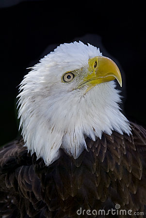 Selective focus bald eagle portrait