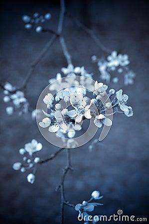 Selenium toned cherry blossoms
